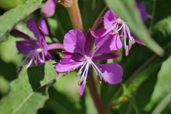 Rosebay-willow-herb-2