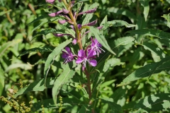 Rosebay-willow-herb-3