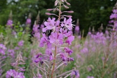 Rosebay-willow-herb-5