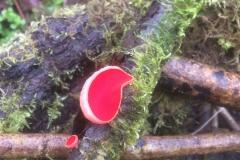 Scarlet-elf-cup-2