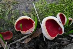 Scarlet-elf-cup-3