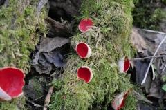 Scarlet-elf-cup-5